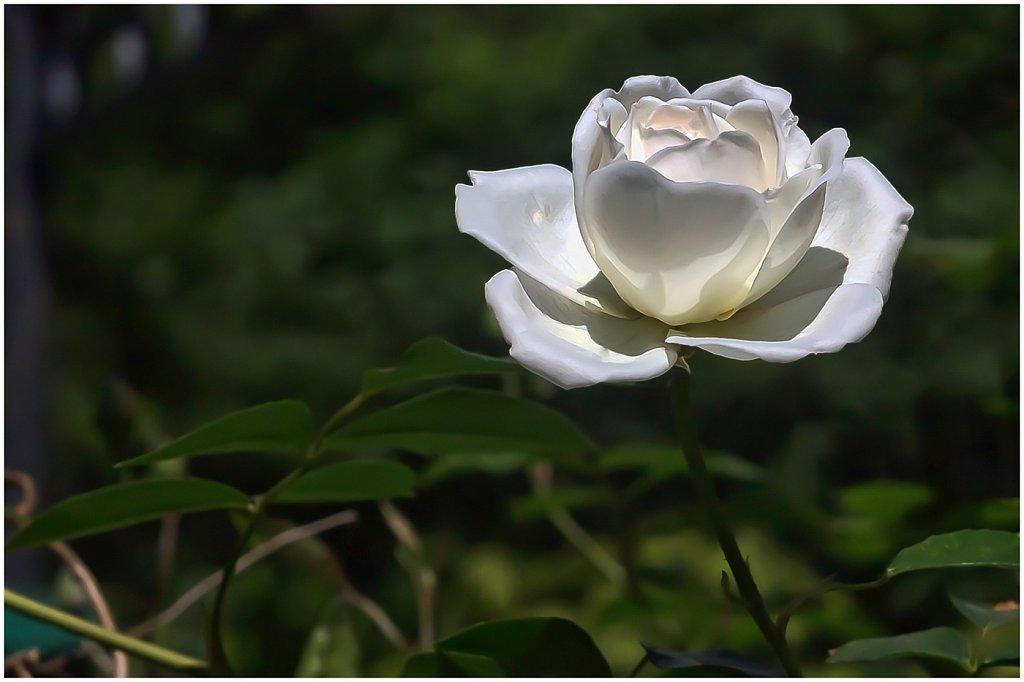 2014-05-17-Rose-zeiss-02-von-02.jpg