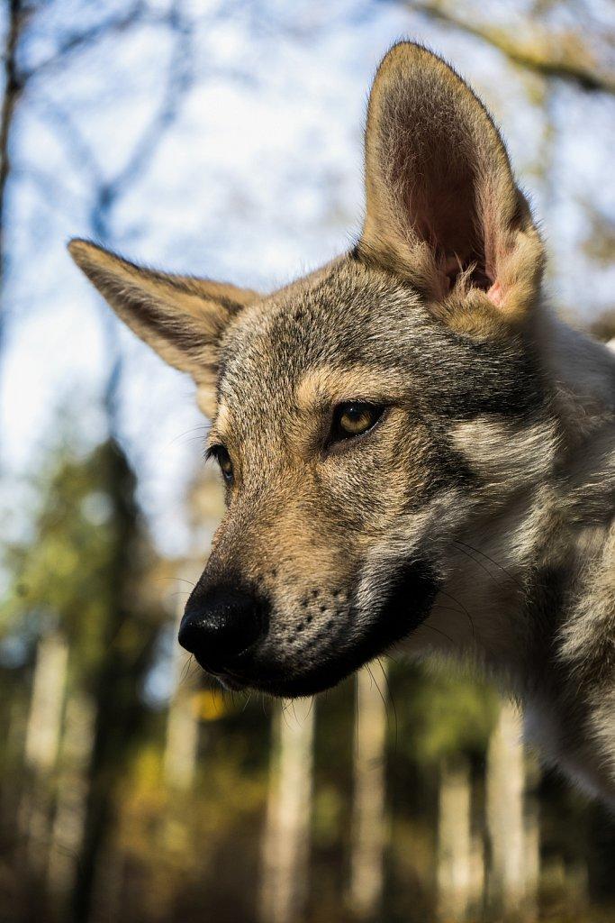 2015-11-08_Wolfshunde